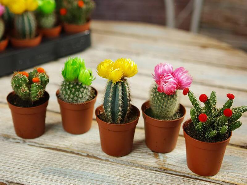 tanaman bunga hias kaktus