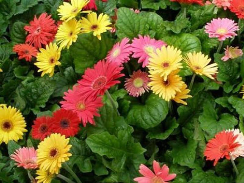 tanaman bunga hias herbras