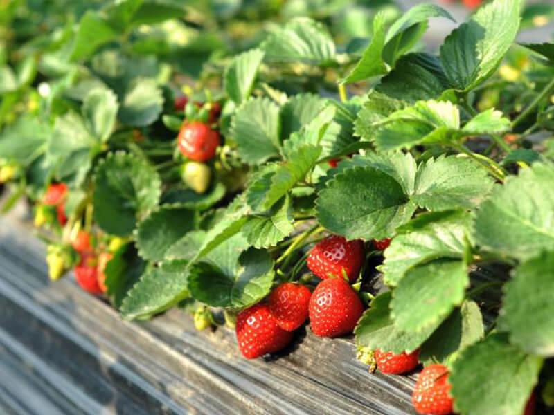 tanaman buah dalam pot yang cepat berbuah